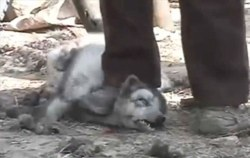 Raccoon Dog Beaten into submission ready to be Skinned Alive in China