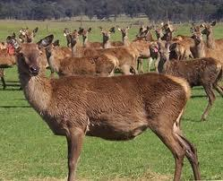 Protection 4 Animal Sanctuary 30 Red Deer Hinds