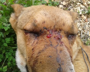 Eva Homesless Dog Repeatedly Shot and Blinded