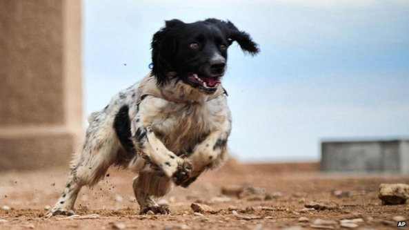Theo, a bomb-sniffing springer spaniel, has been awarded the top prize for animal bravery.  He was given the animal Victoria cross for saving soldiers' lives in Afghanistan where he worked with his handler to detect roadside bombs.