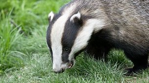 Some badgers can carry TB and pass it on to cattle